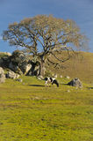Cow next to full oak tree in field Stock Photography