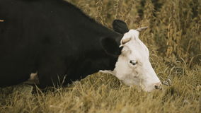 Cow nibbling the grass close-up stock footage
