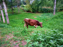 A Cow. Nibbling grass in Sokuluk district Stock Photography