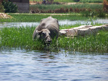 Cow in the Nile Stock Photography