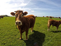 Cow. In Normandie region in north-western France Stock Photo
