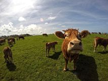 Cow. In Normandie region in north-western France Royalty Free Stock Images