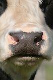Cow nose Royalty Free Stock Photography