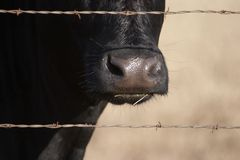 Cow Nose. Close-up of a cow's nose behind a barbed wire fence Royalty Free Stock Photos