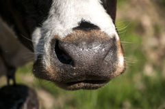 Cow nose closeup Royalty Free Stock Images