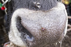 Cow nose detail Royalty Free Stock Photo