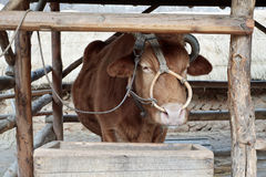 A cow with a nose ring standing in a wooden stall Royalty Free Stock Photos