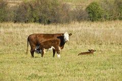 Cow Nursing a Calve Stock Photography