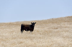 Cow in Oak National Park. Cow among dry grass in the Oak National Park California royalty free stock photography