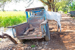 Cow in an old truck in the countryside from Myanmar Royalty Free Stock Photos