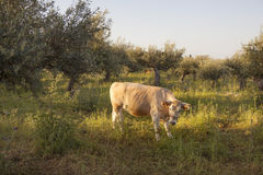 Cow between olive trees with blue sea in the background on greek Royalty Free Stock Photos