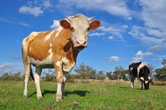 Cow On A Summer Pasture. Stock Photos