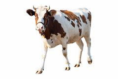 Free Cow On A White Background On A Farm, Farm Animal, Beautiful Cow Stock Images - 159538494