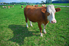 Free Cow On Green Field Royalty Free Stock Images - 13514879