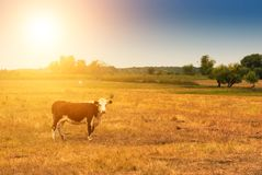 Free Cow On Pasture Royalty Free Stock Photography - 132682667