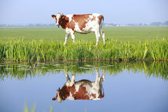 Free Cow On The Field Royalty Free Stock Photos - 19969178
