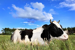 Free Cow On The Field Stock Photos - 21088183