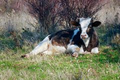 Free Cow On The Meadow Stock Photo - 134266650