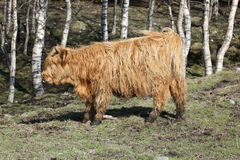 Cow - 4 Royalty Free Stock Photo