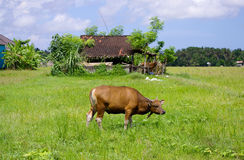 Cow in open field Royalty Free Stock Image