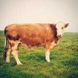 cow. stock photos