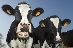 Cow with open mouth Stock Photos