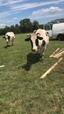 Cow out in open. Cow out and about exploring Royalty Free Stock Photo