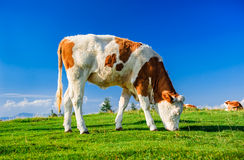 Cow outdoors Stock Photography