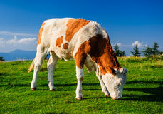 Cow outdoors Stock Photo