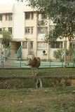 Cow outside building. Brown cow outside a school in Hong Kong Royalty Free Stock Photography