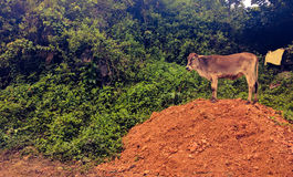 Cow over a small hill Stock Photo
