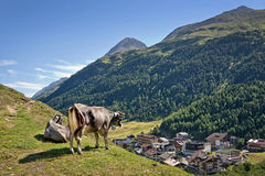Cow overlooking the village of Vent in Otztal. Tyrol, Austria Royalty Free Stock Image