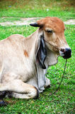 Cow. An ox (plural oxen), also known as a bullock in Australia, New Zealand and India, is a bovine trained as a draft animal. Oxen are commonly castrated adult royalty free stock photo
