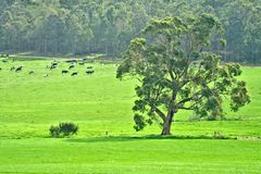 In the cow paddock Royalty Free Stock Images