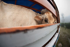 Cow on panel truck Stock Images