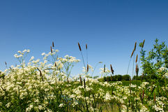 Cow parsley Royalty Free Stock Image