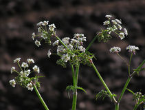 Cow Parsley. Close up of wild cow parsley royalty free stock photo