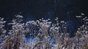 Cow parsley. Frozen cow parsley (Anthriscus sylvestris) in the snow against a dark hedgerow background stock photography