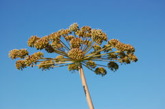 Cow parsley. In the fall against blue sky Stock Image
