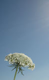 Cow parsley. In the summer against a blue sky Royalty Free Stock Images