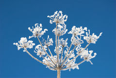 Cow Parsley Stock Photos
