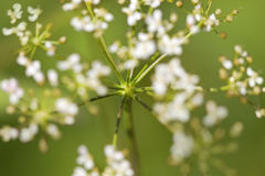 Cow parsley Stock Photo
