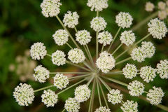 Cow parsley Royalty Free Stock Photography