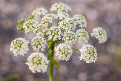 Cow parsley, Anthriscus sylvestris, with diffused background Royalty Free Stock Image