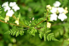 Cow parsley (Anthriscus sylvestris) Stock Image