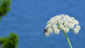 Cow Parsley, Anthriscus sylvestris whit the ocean in the Background stock video
