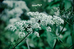 Cow Parsley Anthriscus sylvestris - white summer field flower Royalty Free Stock Image