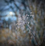Cow parsley Royalty Free Stock Photos