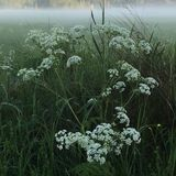 Cow parsley. And in the background the night's fog lingers over the meadow stock images