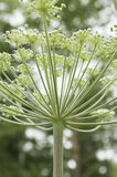 Cow Parsley background vertical Stock Image